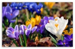 crocus_flowers_spring-t2