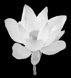 bigstock-Lotus-Flower-49877429