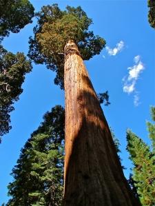 2-sequoia