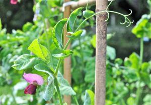 flower-of-schweizer-riesen-pea