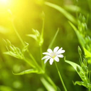 bigstock-white-chamomile-in-green-grass-15039764