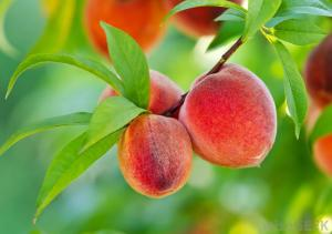 Peach+Tree