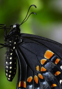 black-swallowtail-from-side-close-2