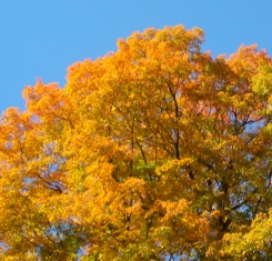 blue-sky-autumn-leaves-sf